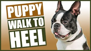 BOSTON TERRIER PUPPY TRAINING! How To Train Your Boston Terrier To Walk To Heel!