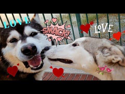 Malamute Meets Luna A Husky/Wolf Cross