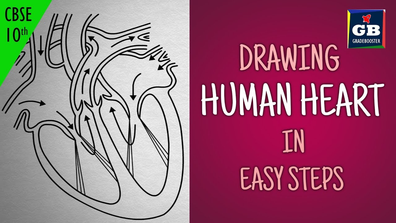 easy way to draw human heart life processes ncert class 10 biology science cbse syllabus [ 1280 x 720 Pixel ]