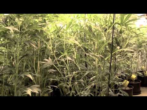 The Weed Nerd present's TC's Corner with Kyle Kushman