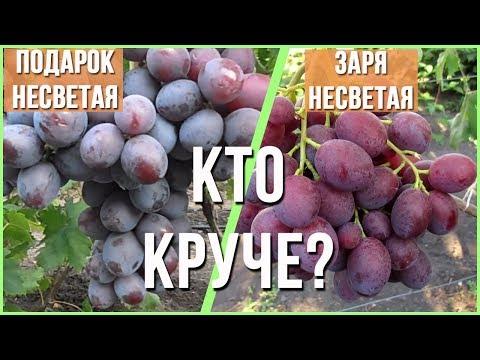 Сорт винограда Заря несветая против Подарок несветая. Кто лучше?