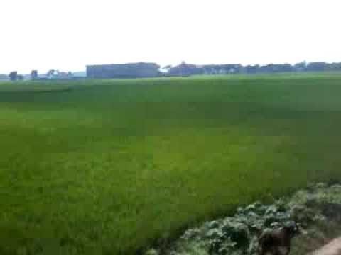 Paddy Cultivation of Burdwan District Video