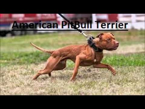 American Bully vs American Pitbull Terrier Differences