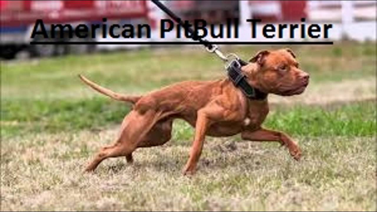 American Bully vs American Pitbull Terrier Differences ...
