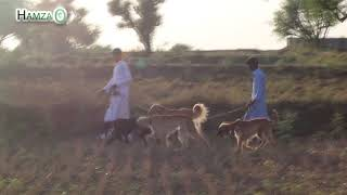 Hunting with Afghan Hounds