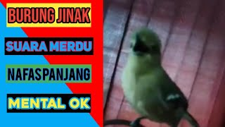 Download Lagu SIRFU Jinak Gacor Di Jamin burung lain pasti nyaut mp3