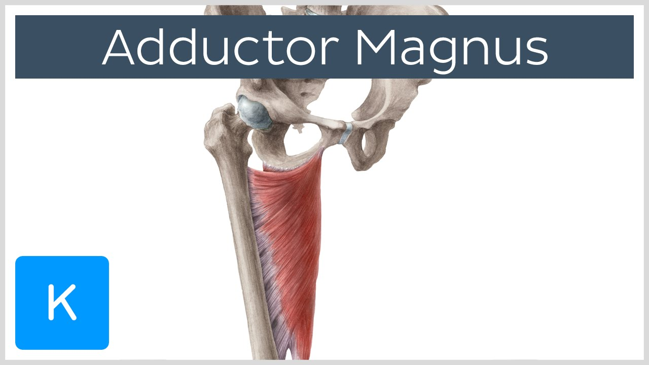 Adductor Magnus Muscle - Function & Origins - Human Anatomy | Kenhub ...