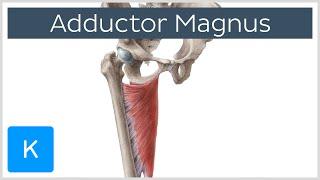 Adductor Magnus Muscle - Function & Anatomy - Human Anatomy  Kenhub