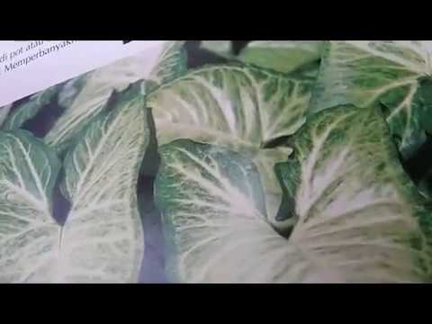 Syngonium plant - flowering plant - tropical plant