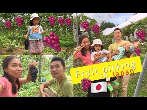 Grapes Farm in Japan / fruit picking in Japan