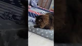 Khi mèo maine coon chơi với sợi dây