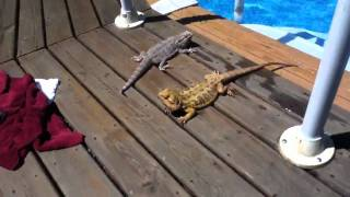 My Lizards Going for a Swim (saltwater pool)