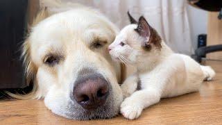 Kitten Shows His Love For Golden Retriever