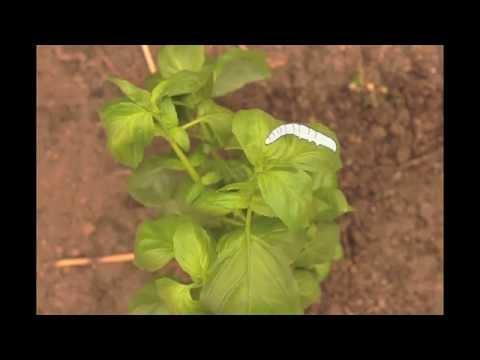 Harvesting at the Campus Farm