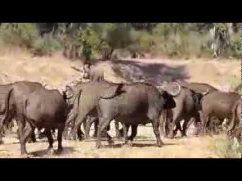 Buffalo Herds of the Lower Zambezi National Park
