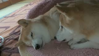 【仲良し柴犬】いちゃいちゃ癒され動画