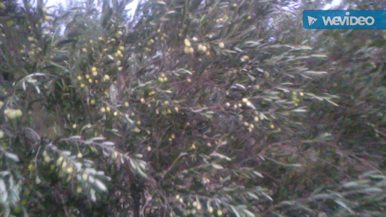 Zeytin Yaprağı Nasıl Kurutulur
