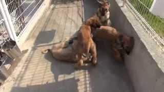 アフガンハウンドの子犬です。 良血統、チャンピオン直子です! 子犬の...