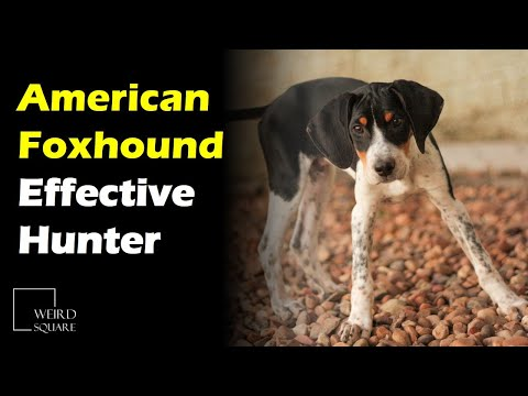 The American Foxhound dates back to the 1700s, when they were bred from English Foxhounds