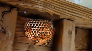Relocating A Wasp Nest