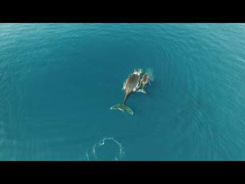 Humpback Whales Lahaina Maui