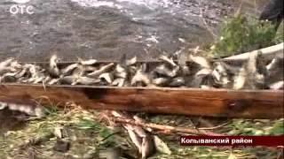 В озеро Каменное Колыванского района запустили 2 миллиона мальков.