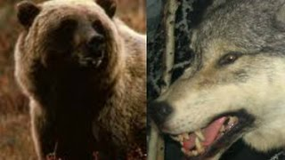 Bears and Wolves Epic Battle(full documentary)HD