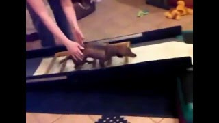 Miniature Dachshund - Therapeutic Exercises For Dogs