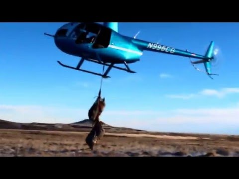 Mule deer capture and collar project Superior Wyoming