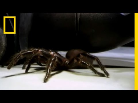 Toe-stabbing Spider | National Geographic