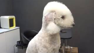 (슈앤트리)푸들 베들링턴 가위컷 슈 과거 미용 영상 / poodle dog grooming