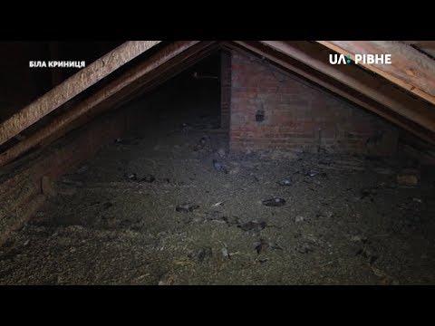 Телеканал UA: Рівне: У селі біля Рівного люди посварились через голубів, більше сотні птахів – загинули