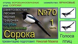 Сорока. Голоса птиц