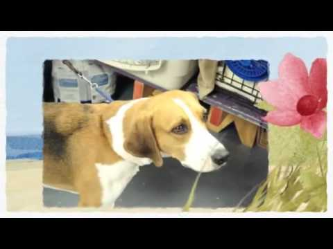 American Foxhound Training   How to train an American Foxhound