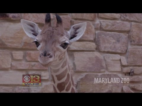 Thumbnail: First Giraffe Born At The Maryland Zoo In More Than 20 Years
