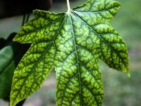 Вопрос: Из-за чего листья зелёные Что в них содержится?