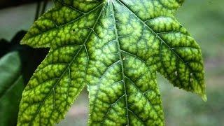 Растения 1:Определение нехватки элементов питания по листьям