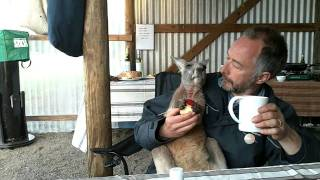 Orphaned Kangaroo Joey