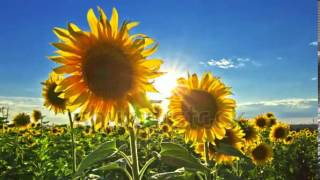flowering sunflowers on a background sunset   2472272   Shutterstock Footage