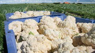 Awesome Cauliflower Cultivation Technology - Cauliflower Farming and Harvesting Machine