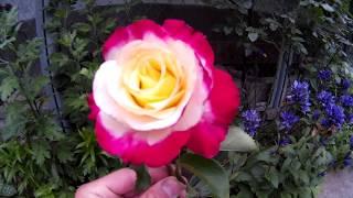 Необычная белая роза с желтой серединой и малиновыми лепестками на конце