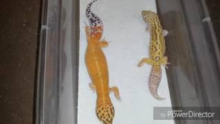 Dwarf/tiny gecko project