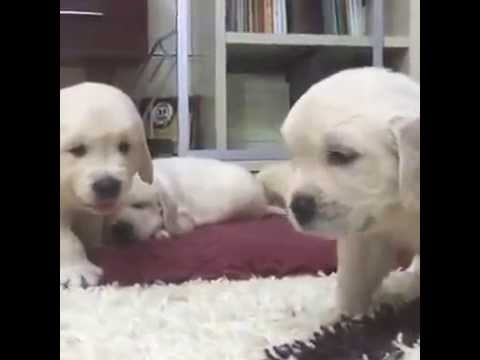 Adorable 4 Weeks Old Puppies Nursing And Playing With Their Mom