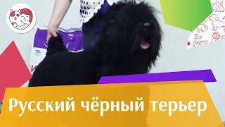 Русский черный терьер. О породе, особенности, уход