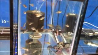 Fish Room Tour. Guppies, Rams, Acaras