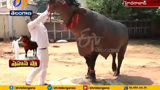 Video Buffalo Shahenshah to be Special Attraction in Sadar Celebration | Hyderabad download MP3, 3GP, MP4, WEBM, AVI, FLV Januari 2018
