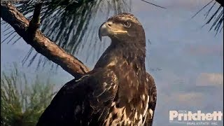 SWFL Eagles ~ A Beautiful Visitor In The Nest Tree ~ Gorgeous Closeups 12.15.17