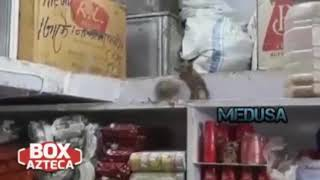 Brutal pelea de roedores narrada por Box Azteca Deportes con musica de Linkin Park de fondo