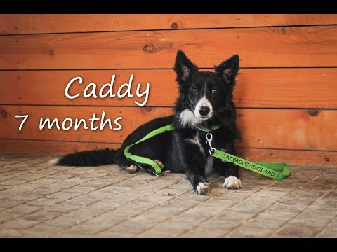 Caddy   7 months old border collie