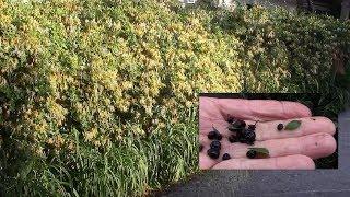 Жимолость каприфоль.  Как собрать семена для посадки?